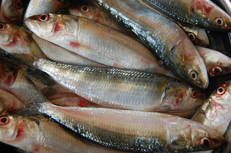 Tracking the oil sardine: On the El Niño trail