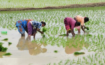 My dear farmers: Don't be stuck on paddy but do your research before moving on to other crops