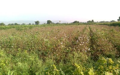 Dear farmers: Here's how a cotton farmer bucked the trend in Wardha and turned a profit