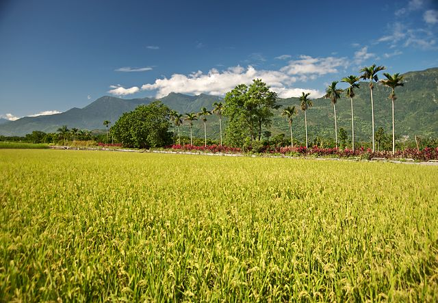 Here's how the farmer can get a good paddy harvest using just 250 gm of seeds per acre