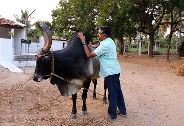 Why the Kangeyam breed needs saving